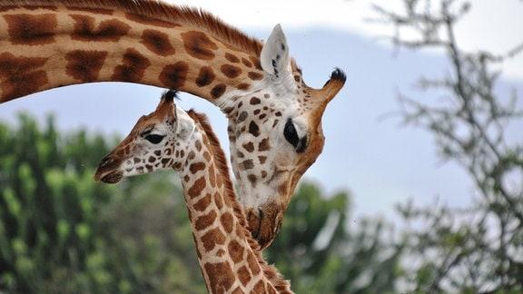 Eine Rothschild-Giraffe kümmert sich im Soysambu-Schutzgebiet in Kenia um ihr Junges.