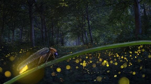 Langzeitbelichtung von Glühwürmchen bei Nacht