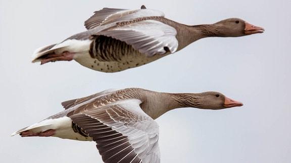 Zwei fliegende Graugänse.