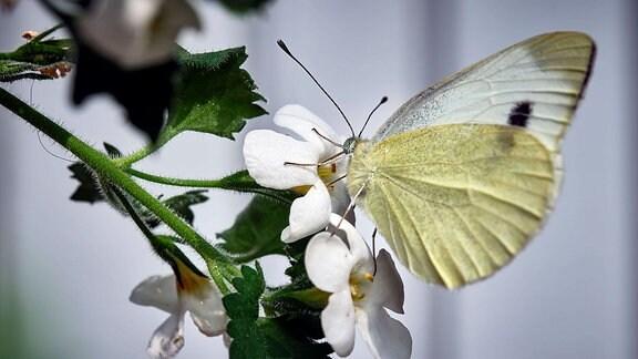Der Schmetterling Großer Kohlweißling