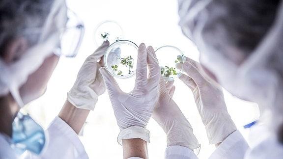 Wissenschaflter schauen in eine Petrischale