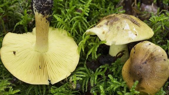 Grünling Pilze