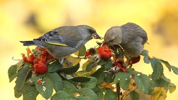 Grünfink Paar