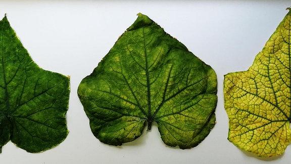 Blätter einer mit CABYV infizierten Grukenpflanze, die ihr Cjhlorophyl verliert