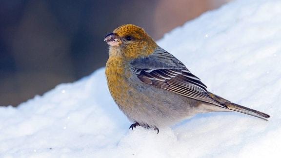 Hakengimpel Weibchen im Schnee