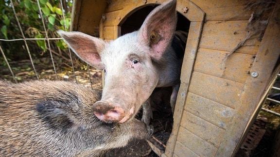 Wildschwein Rose (4 Monate) und Hausschwein Babette (5 Monate) zusammen an der Hundehütte