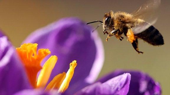 Biene sammelt Blütenpollen blühender Krokusse