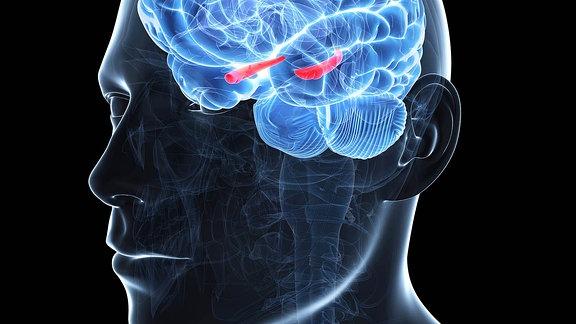 Computersimulation des Hippocampus (rot) - der Region im Gehirn, die für das Langzeitgedächtnis zuständig ist.