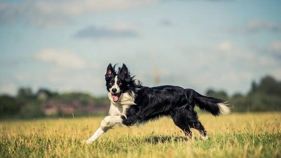 Ein Hund rennt über ein Feld.