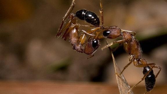 Seitenansicht Nahaufnahme von zwei Ameisen (Insekten mit langem Körper aus mehreren Knubbeln und dünnen Beinchen): Eine Ameise steht auf einer Blatt- oder Spahnspitze und drängt eine zusammengerolle invasive Ameise weg, die in der Luft hängt.