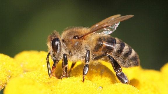 eine Biene auf gelben Blüten