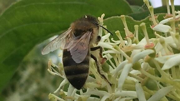 Dicke Biene mit kuzen Flügeln