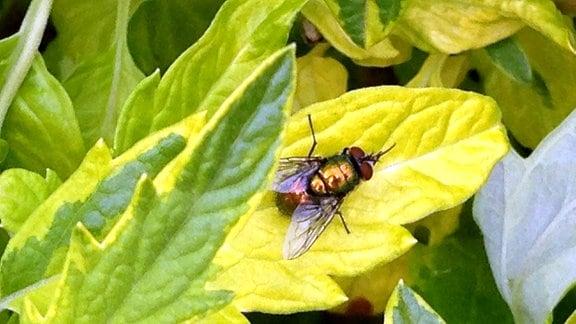 Fliege auf gelbem Blatt