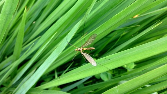 insekten-zaehlen-langbeiner