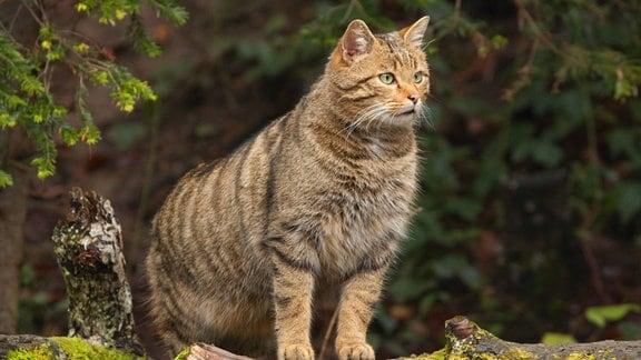 Eine Wildkatze steht auf einem bemoosten Baumstamm