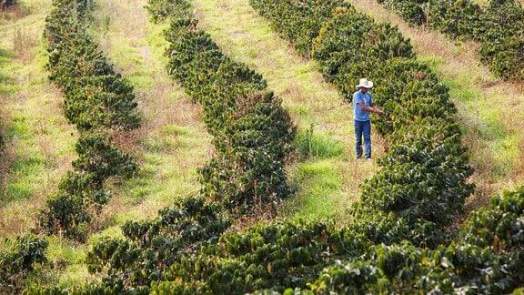 Kontrolle der Kaffeepflanzen auf der Kaffeeplantage Aguas Claras