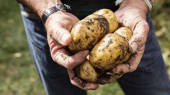 Man sieht Hände, die dreckige Kartoffeln halten.