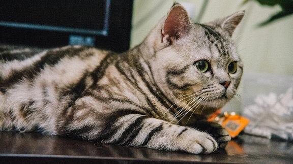 Eine graue Hauskatze in einer Wohnung