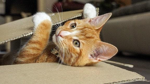 Eine Katze mit einem Halsband spielt mit einem Pappkarton.