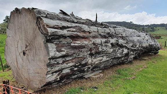 Kauri-Baumstamm aus Ngawha New Zealand