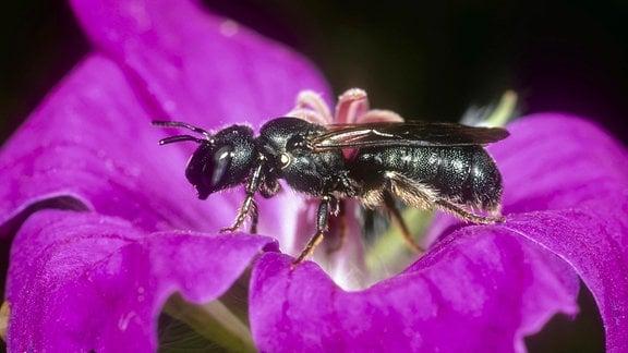 Keulhornbiene auf einer Blüte