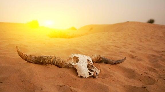 Tierschädel mit Hörnern in einer Wüstenlandschaft