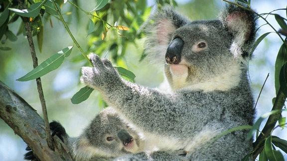 Ein Koala verspeist ein Eukalyptus-Blatt
