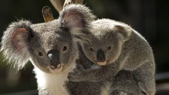 Koala trägt Junges