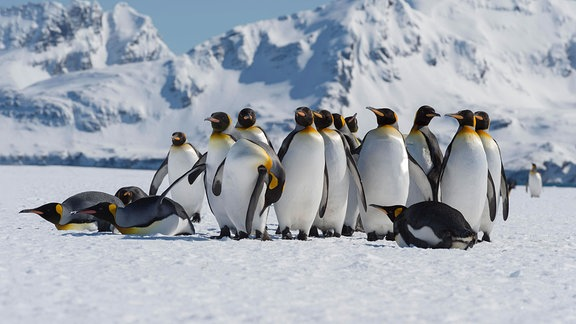 Eine Gruppe von Königspinguinen, einige aufrecht, einige gedruckt läuft erhaben über Eis unter blauem Himmel