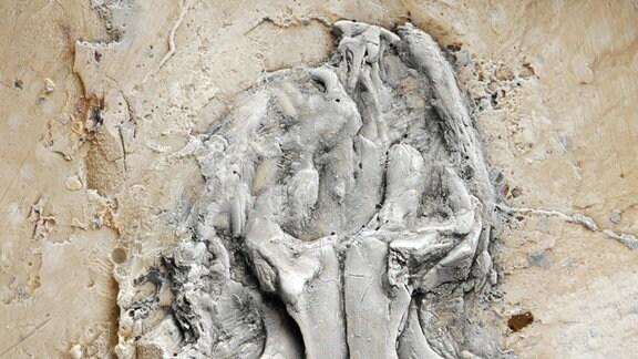 Kopf und Körper des Messel-Pythons