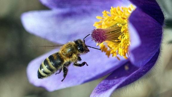 Eine Biene im Anflug auf eine geöffnete Finger-Küchenschelle