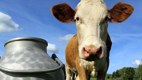 Kühe auf der Wiese, Simmentaler Fleckvieh, im Vordergrund eine Milchkanne.