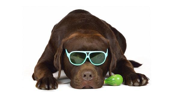 Schokofarbener Labrador Retriever mit Brille