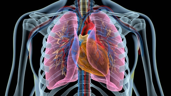 Menscheliches Herz mit Herzkranzgefäßen, Lungen, Bronchien und Schnitt durch den Brustkorb