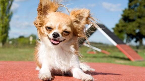 Lustig aussehender Chihuahua