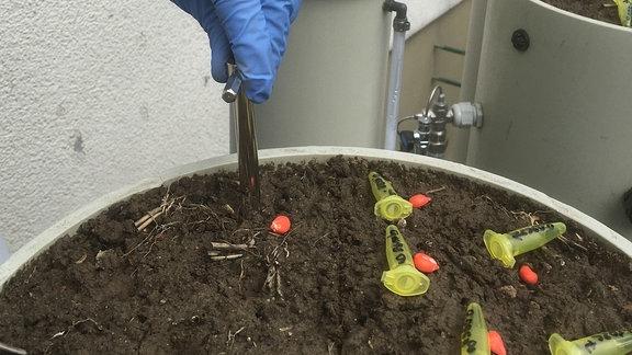 Mais-Einsaat mit Recycling-Dünger