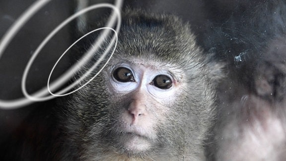 Gesicht eines kleinen Makake-Äffchens, das fotomontiert zur Seite blickt. Richtung Kopf befinden sich symbolische, weiße, leicht unscharfe Schallwellen.