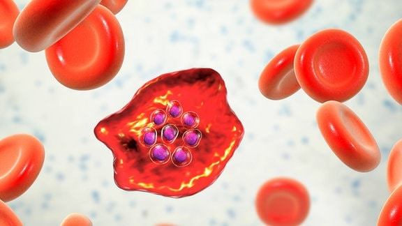 Malaria-Erreger (Plasmodium) in einer Blutzelle