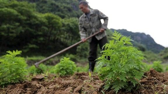 ein lokaler Bauer, entfernt Unkraut im Artemisia-Annua-Feld