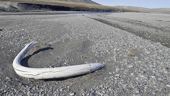 Mammut Stoßzahn am Strand der Wrangel Insel