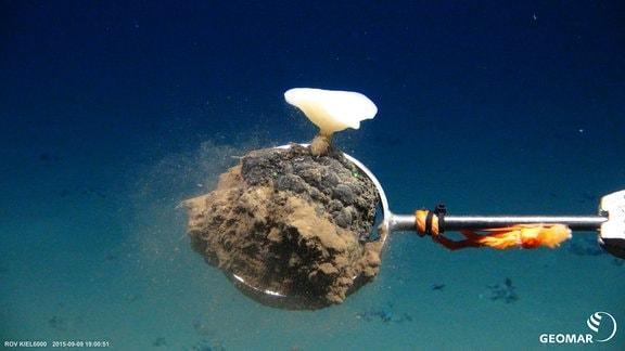 Manganknolle mit einem Tiefseeschwamm