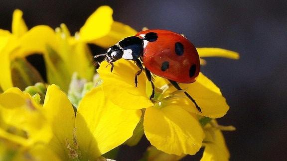 Marienkäfer auf Blüte.