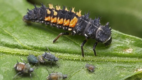 Larve eines Marienkäfers mit Blattläusen auf einem Blatt