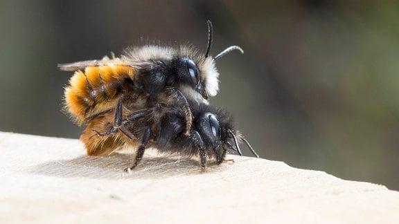 Zwei flauschige Bienen übereinander bei der Paarung, Nahaufnahme