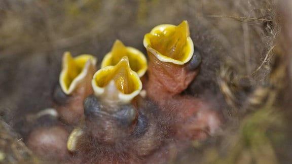 Meisennachwuchs im Nest