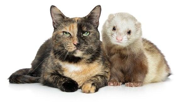 Katze und Frettchen liegen einträchtig nebeneinander