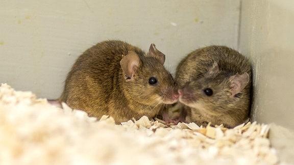 Zwei Mäuse in einem Kasten