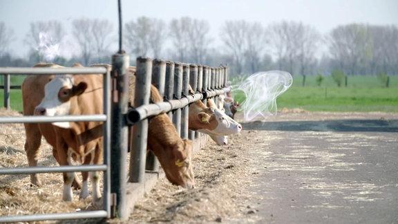 Kühe im Freiluftstall.