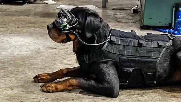 Militärischer Arbeitshund mit AR-Brillen-Technologie