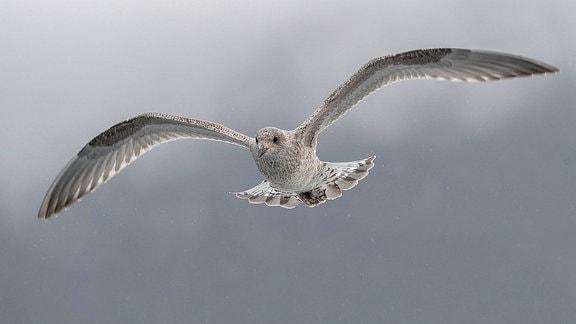 Jagende Möwe